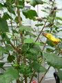 Hibiscus brackenridgei.jpg