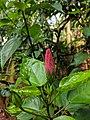 Hibiscus sp 220181104 085125.jpg