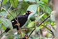 Hill Myna. Sound of Western Ghats. (24469119137).jpg