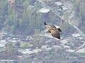 Himalayan Griffon (Gyps himalayensis) (50084694808).jpg