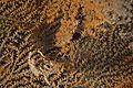 Hippocampus denise (26634261362).jpg