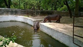 Hippos leisure bath.jpg