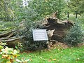 Historic tree in Greenwich Park oct 07.jpg