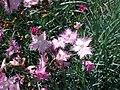 Hohenheim - Dianthus plumarius 02.jpg