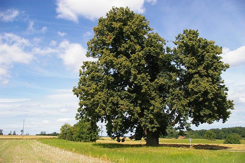 Datei:Hoher Baum Maichingen.JPG