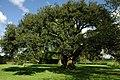 Holm Oak in Westbury Court Garden - geograph.org.uk - 1292854.jpg