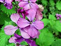 Honesty (Lunaria annua) (34349301822).jpg