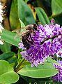 Honey bee 3.jpg