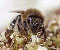 Honigbiene IMG 8242.jpg
