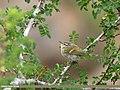 Hume's Warbler (Phylloscopus humei) (32078067591).jpg