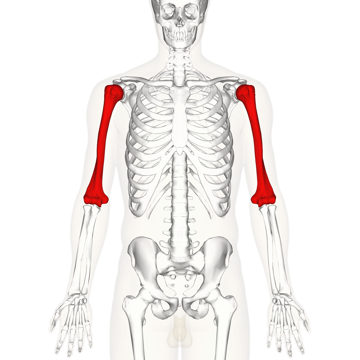 humerus - wikipedia, Human Body
