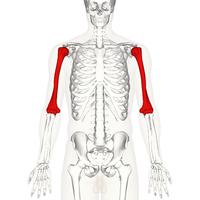 Humerus - anterior view.png