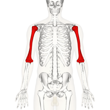 Humerus - anterior view.png