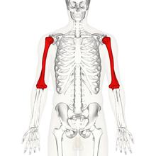 humerus proximalis végének törése gyógytorna)