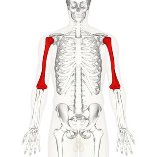 Humerus long bone of the upper arm