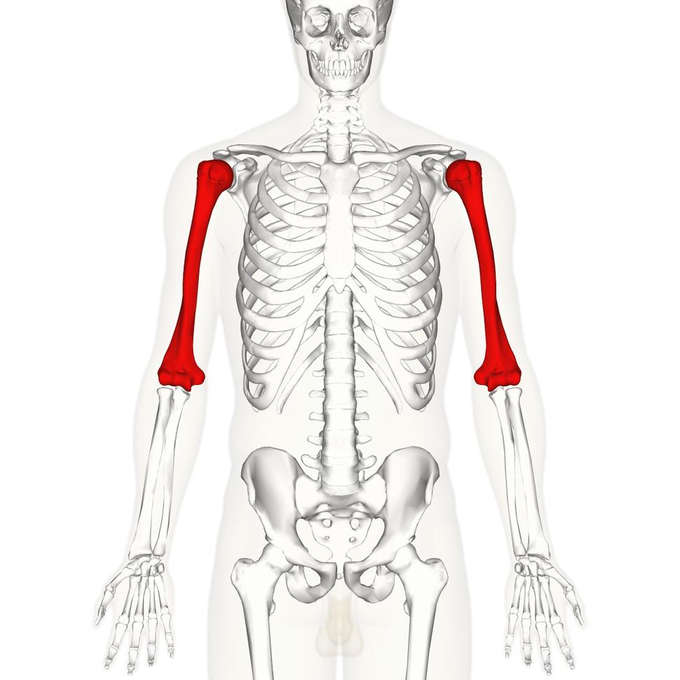 Humerus - anterior view