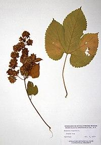 Humulus lupulus var. lupulus BW-1979-1001-0438.jpg