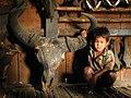 Hunting gaur Bos gaurus skull IMG 8443 01.jpg