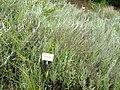 Hyalis argentea - University of California Botanical Garden - DSC08956.JPG
