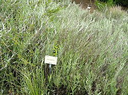 Hyalis argentea - University of California Botanical Garden - DSC08956.JPG