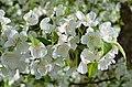 Hybrid Crabapple Malus 'Snowdrift' Flowers 1.JPG