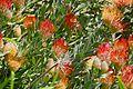 Hybrid Pincushion (Leucospermum x) (32842750231).jpg