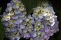 Hydrangea macrophylla Endless Summer 4zz.jpg