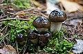 Hygrophorus fuligineus Frost 980835.jpg