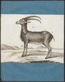 Ibex alpinus - 1700-1880 - Print - Iconographia Zoologica - Special Collections University of Amsterdam - UBA01 IZ21300163.tif