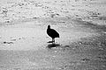 Ice Bird (3263622196).jpg