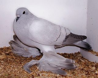Ice pigeon pigeon breed