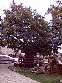 Il grande acero santuario monte pollino.jpg