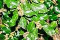 Ilex aquifolium in Aveyron (10).jpg