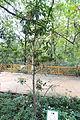 Illicium verum - Chengdu Botanical Garden - Chengdu, China - DSC03308.JPG