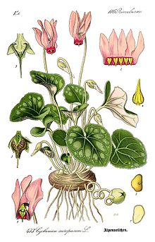Euroopa alpikann (Cyclamen purpurascens)