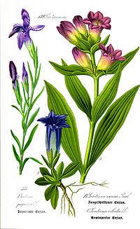 Illustration Gentiana purpurea0