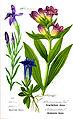 Illustration Gentiana purpurea0.jpg
