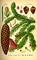 Illustration Picea abies0.jpg