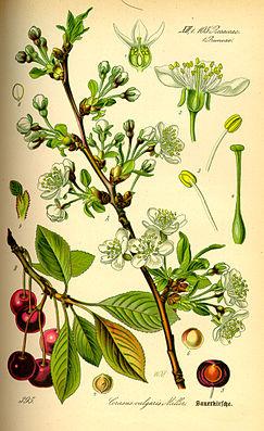 Illustration Prunus cerasus0.jpg