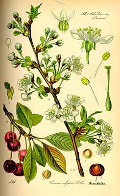Sauerkirsche (Prunus cerasus), Illustration