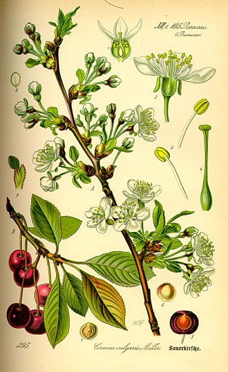 Prunus cerasus - Illustration of Morello Cherry