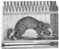 Illustrirte Zeitung (1843) 18 285 2 Die Genette aus der Barbarei.PNG