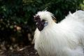 Image-Silkie rooster in Aus-closeup.jpg