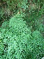 Impatiens capensis at Cathlamet Washington.jpg