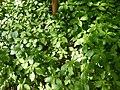 Impatiens parviflora Paludi 01.jpg