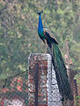 Indian Peacock (Pavo cristatus) at Sultanpur I Picture 015.jpg