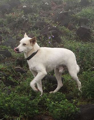 Indian pariah dog - A pet Indian pariah dog in the Western Ghats region of South Asia.