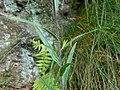 Inula ensifolia 2017-06-25 3168.jpg