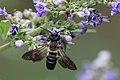 """Invasive """"Giant Resin Bee"""" (Megachile sculpturalis), Le Collet-de-Dèze, Lozère, France (35673487614).jpg"""