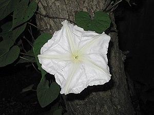Ipomoea alba - Image: Ipomoea alba 270483816